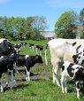 Ammetante-køer og kalve er netop sat på græs ved AU Foulum. Dyrene indgår i det nye GrOBEat projekt, der omhandler bæredygtig og velfærdsvenlig kalve- og oksekødsproduktion. Foto: Linda S. Sørensen.